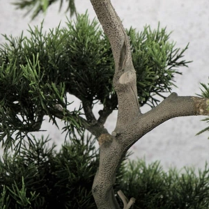 Tuja Bonsai na Pniu 90 cm