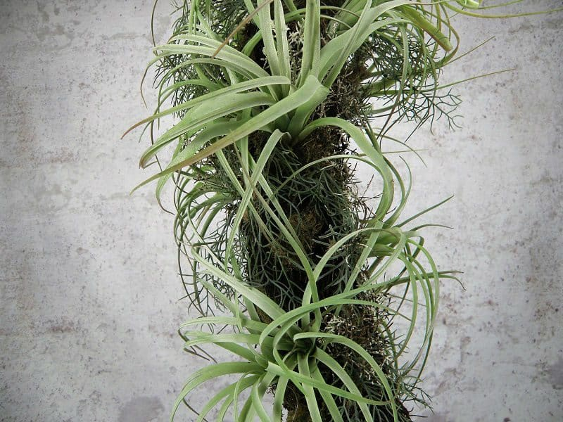 tillandsia-on-the-trunk-zoom-1