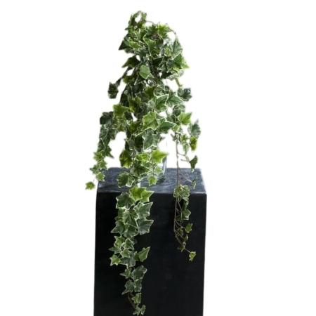 bluszcz 80 cm biało zielony