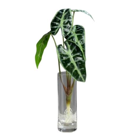 Alocasia liście