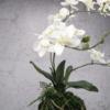 sztuczny storczyk wiszący wanda biały 60 cm