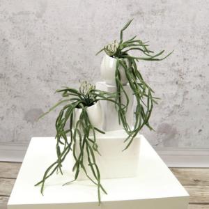 Kaktus Rhipsalis Gruby - Produkt Premium