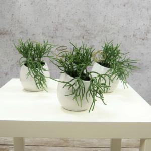 Kaktus Rhipsalis Cienki - Produkt Premium