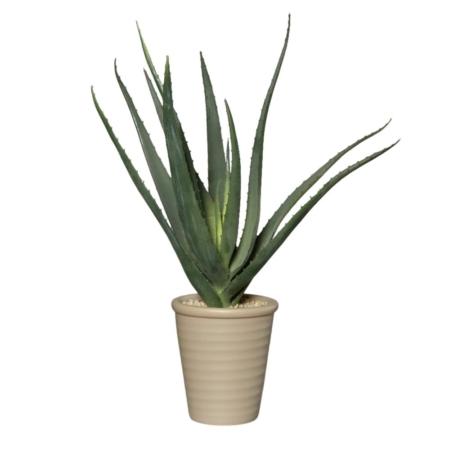 agawa w doniczce 50 cm