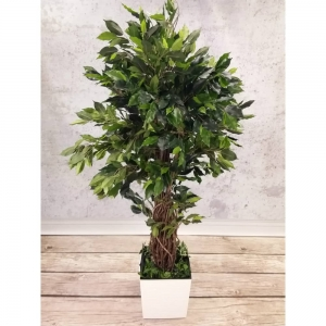 Ficus Liana 150 - Produkt Premium