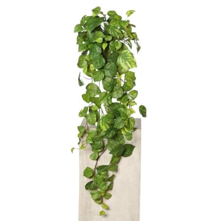 bluszcze rośliny zwisające pnącza