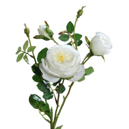 róża angielska pnąca jakość premium