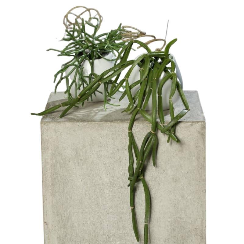 kaktusy rhipsalis sukulent