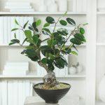 Miniaturka bonsai ficus