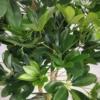 sztuczne rośliny drzewa szeflera