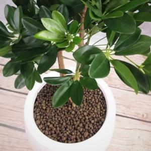 Szeflera Drzewko - Produkt Premium