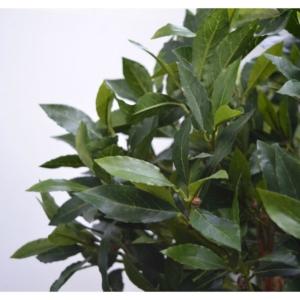 Drzewko Laurowe na Pniu - Jakość Premium