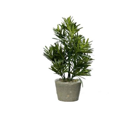 Podokarpus Podocarpus w doniczce