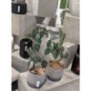 kaktus_3-gałązki