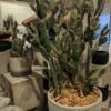 kaktus-3 gałązki