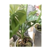monstera-filodendron