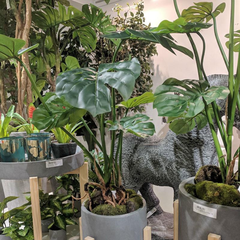 monstera-zielona-filodendron