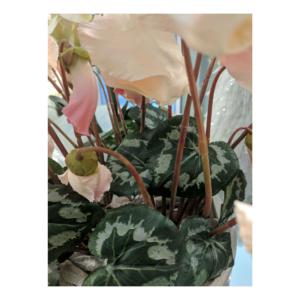 Blady-Róż Cyklamen Gałązka Wiele Kwiatów 40 cm