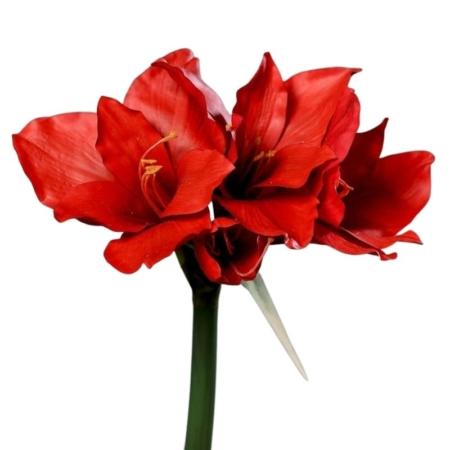 amarylis 3 kwiaty 1 gałązka