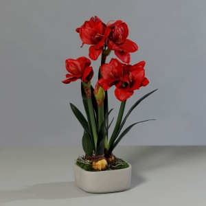 Czerwony Amarylis 3 Kwiaty Doniczka Cementowa 66 cm