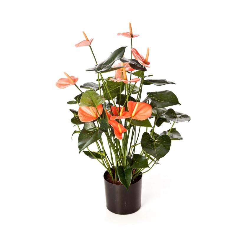 anthurium-róż