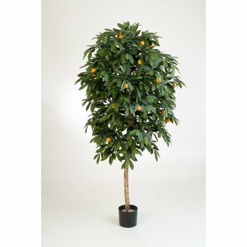Drzewo mandarynkowe - citrus mandarine