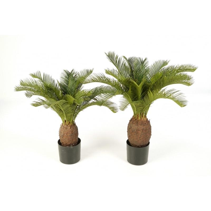 Cykas- palma sagowiec