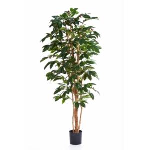 Drzewo kawowe