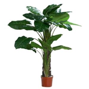 Filodendron Drzewko 140 cm