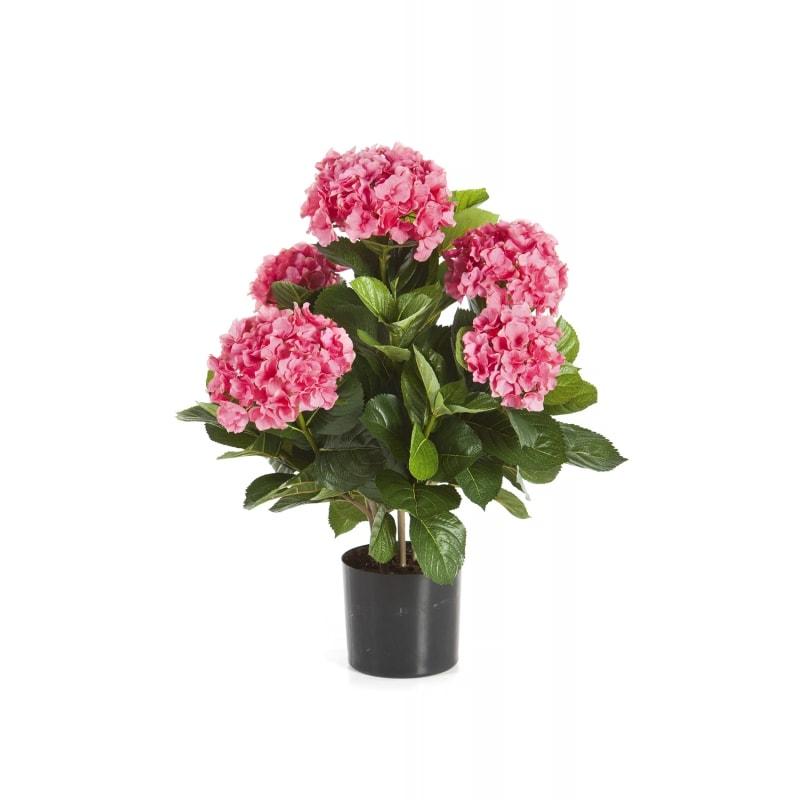 hortensja-roz