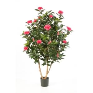 Kamelia Japońska 150 cm - Produkt Premium
