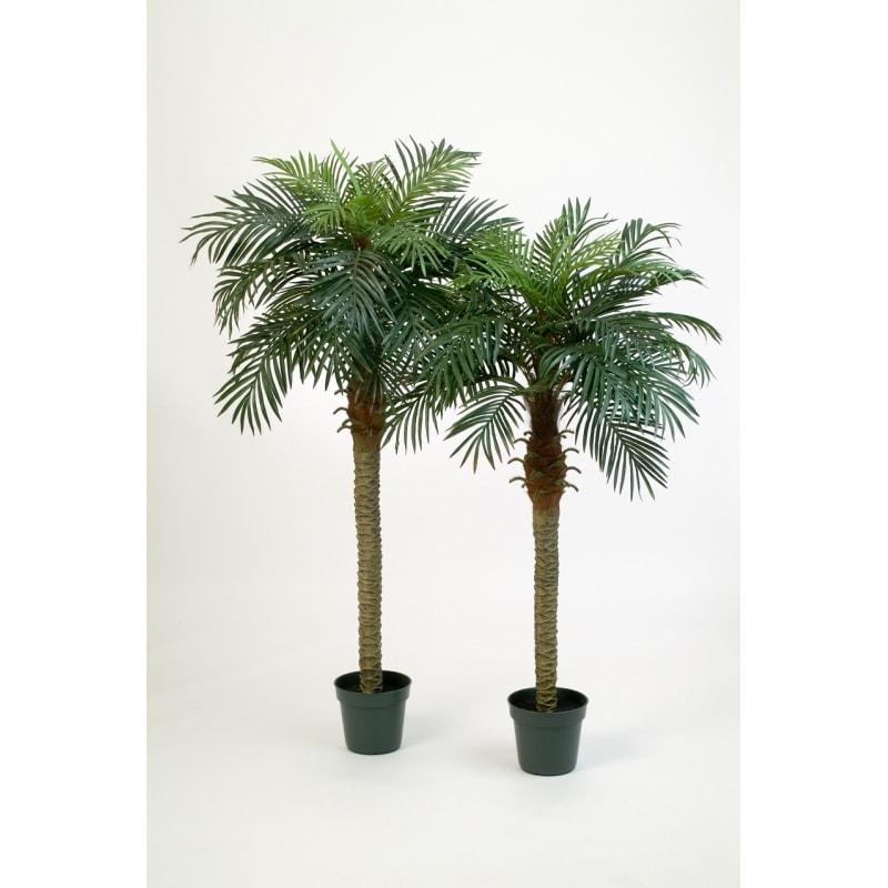 palma feniks w doniczce