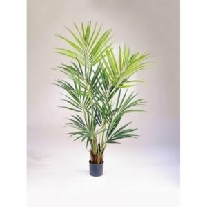 Palma Kentia Kencja De Luxe 140,172 i 200 cm