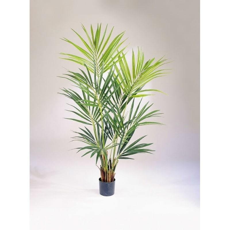 Palma Kentia Kencja De Luxe 172 i 200 cm