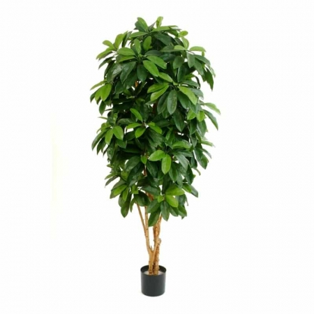 Drzewko - Szeflera a2