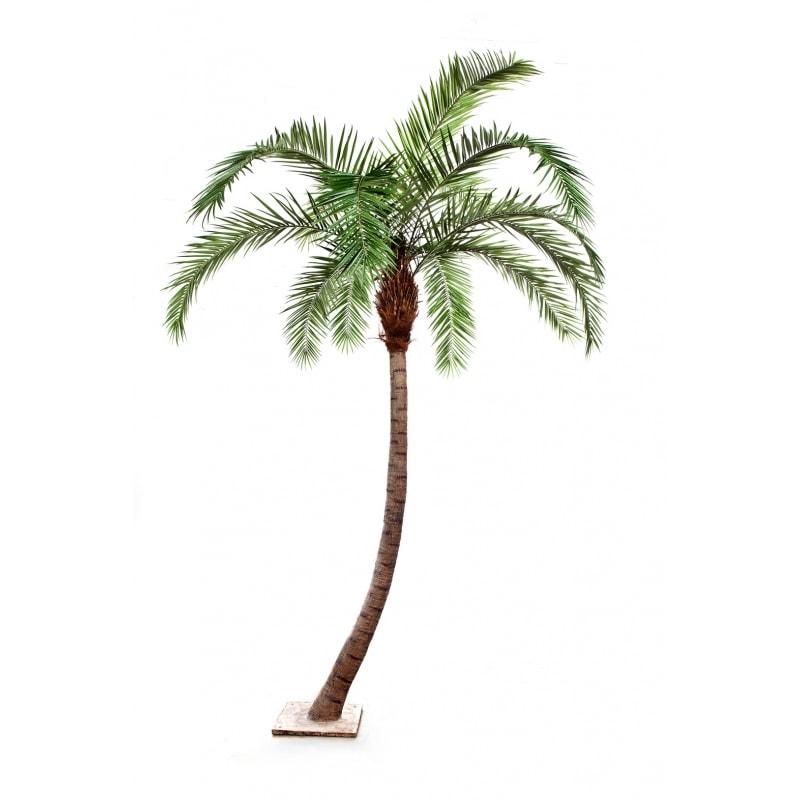 Wygięta Palma - Feniks - Daktylowiec Kanaryjski