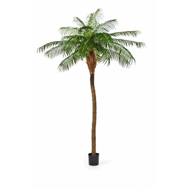 Palma Feniks - Daktylowiec Kanaryjski - Produkt Premium