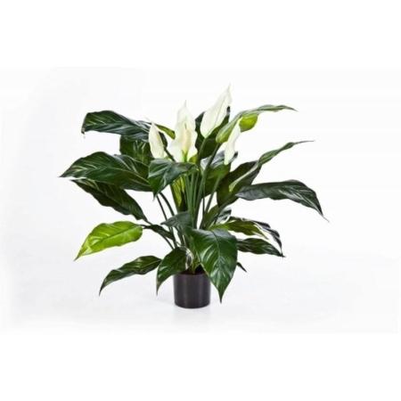 Spatifilium Skrzydłokwiat De Luxe 73 cm