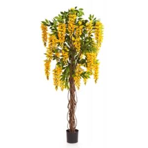 Wisteria Glicynia 180cm żółta