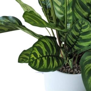 Zielona Kalatea 78 i 80 cm
