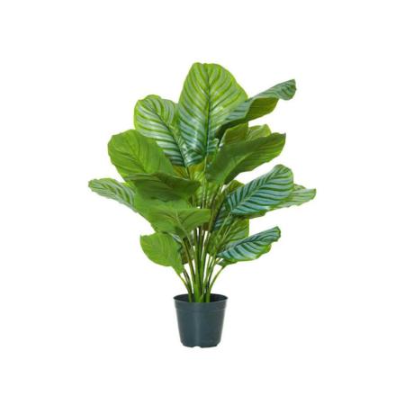 kalatea orbifolia