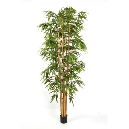 Bambus Gigant Duże Liście