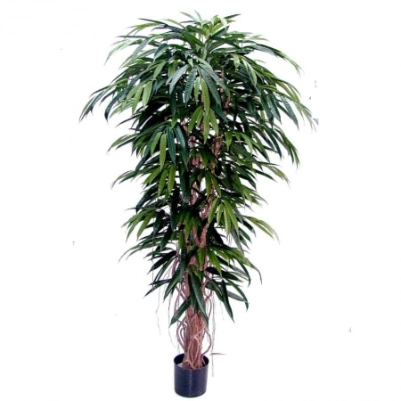 longifolia liana