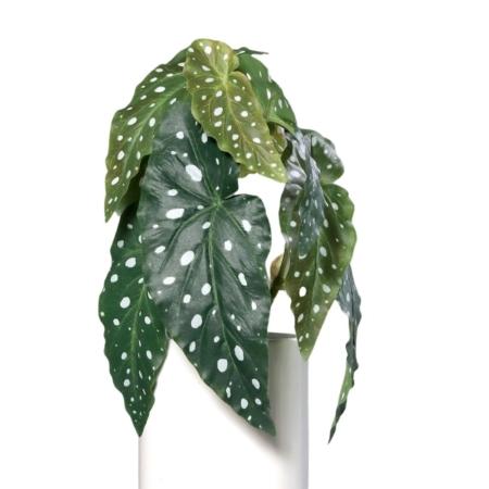 begonia mulata na piku 30 cm