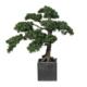 bonsai 165 cm