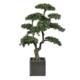 bonsai 170 cm