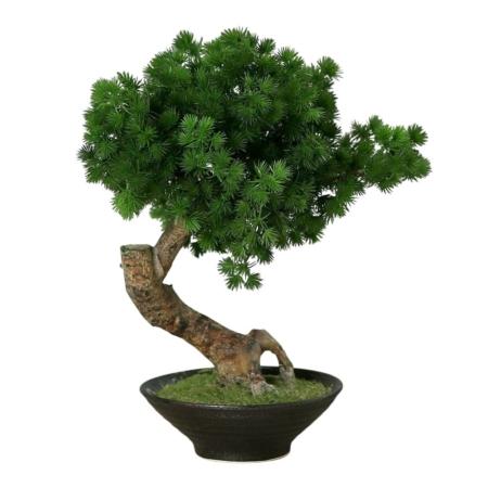 bonsai plumosum 41 cm