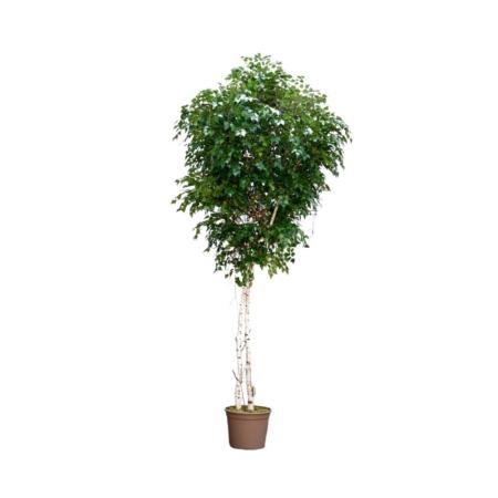 sztuczne drzewo brzoza