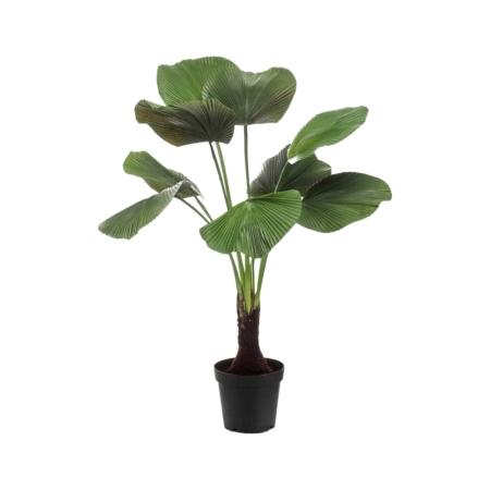 palma likuala 130 cm