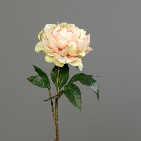piwonia 56 cm